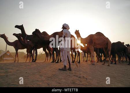 El concesionario no identificados en el mercado de camellos más grande del mundo Pushkar mela en Rajasthan, India