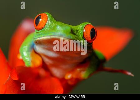 La rana arborícola de ojos rojos (Agalychnis callidryas), cautiva, Reptilia zoo de reptiles, Vaughan, Ontario, Canadá