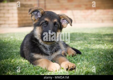 Un pequeño lindo perrito Pastor Alemán.