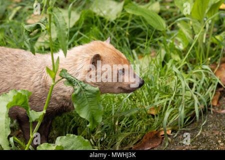 El perro de monte (Speothos venaticus), en el Parque Zoológico de Madrid, España, Europa.