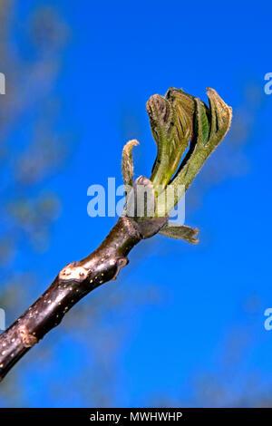 Vista cercana de un capullo de hoja de apertura en la punta de una ramita de un árbol de nogal con un fondo de cielo azul, clara,