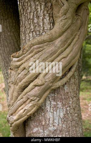 Pony y ciervos disminuidos los tallos del viejo Hedera helix hiedra trepando a un Pedunculage roble Quercus robur, Parque Nacional de New Forest, Hampshire, Inglaterra, Reino Unido, Mayo