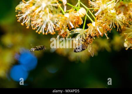 Bumblebee en Linden Flowers, cerca de abejorro, recogiendo el néctar de las flores, miel