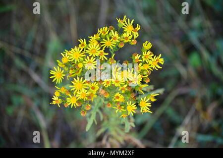 Daisy amarillo en los prados del Rebedul en Lugo. Flores Paisajes de la naturaleza. Agosto 18, 2016. Rebedul Becerrea Lugo, Galicia, España.