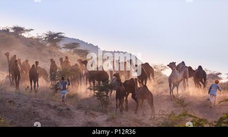 Los camellos en el camino a Pushkar Mela al atardecer, el mercado de camellos, Pushkar, Rajastán, India