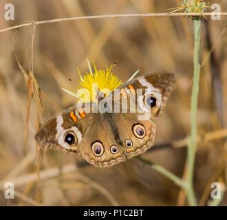 Buckeye común (Junonia coenia) se alimenta de flor amarilla.