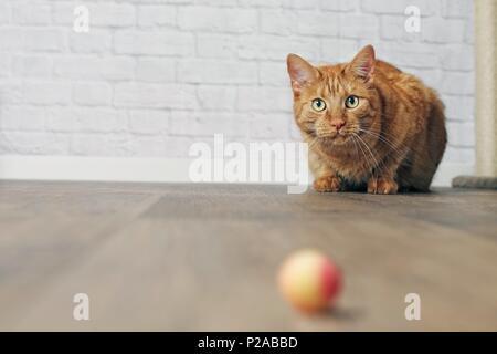 Jengibre lindo gato en el acecho.