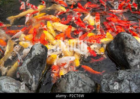 vista superior de coloridos peces koi japoneses nataci n