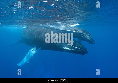 Las ballenas jorobadas (Megaptera novaeangliae), madre de ternera, Silverbanks, República Dominicana