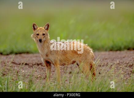 Mujer, adulto indio, el Chacal (Canis aureus indicus), también conocido como El Chacal dorado (Canis aureus), antílopes blackbuck National Park, Velavadar, Gujarat, India