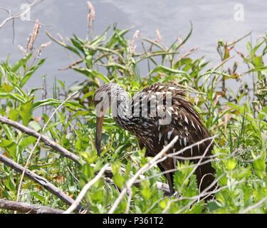 La Limpkin (Aramus guarauna) es también llamado río Carrao, courlan, y gritando Ave