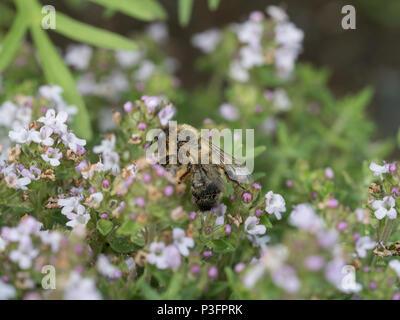 De cerca una abeja minería comunal alimentándose de flores de tomillo