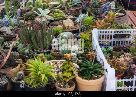 Colección de cactus y plantas suculentas en el jardín. Pequeño cactus y suculentas en casa y jardín.