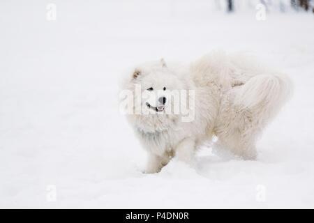 Perro joven samoyedo blanco en la nieve en el patio de recreo