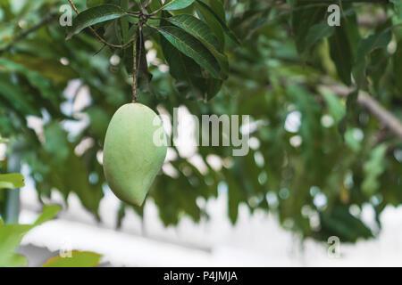 Uno de los árboles de mango fresco verde de fondo. Foto de stock