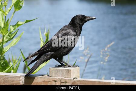 Una impresionante Carrion Crow (Corvus corone) donde se posan sobre una valla de madera con un lago en el fondo.