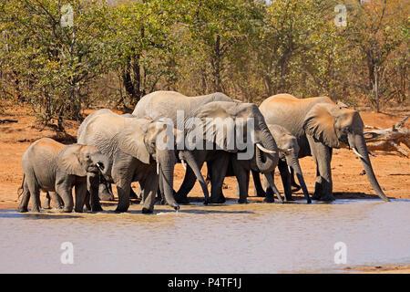 El elefante africano (Loxodonta africana) en un abrevadero, el Parque Nacional Kruger, Sudáfrica Foto de stock