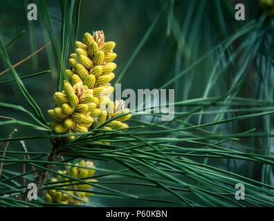 Los conos de pino y las agujas sobre fondo verde