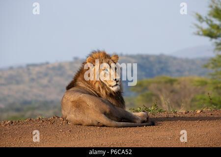 Panthera leo el león macho descansando en el sol temprano en Zimanga Private Game Reserve, Sudáfrica