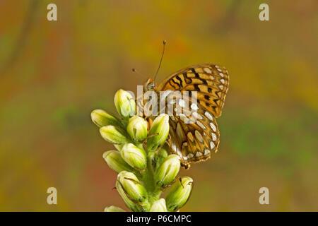 Una mariposa de Zerene Frutillary, Speyeria zerene, en una flor silvestre en las Montañas Cascade de Oregon.