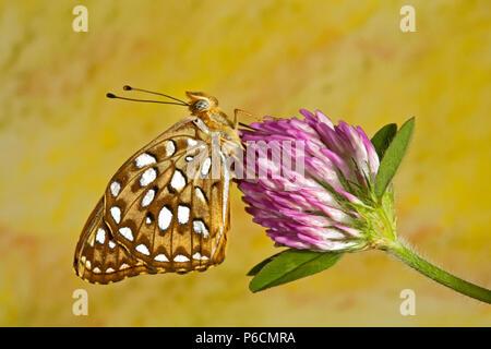 Retrato de una mariposa frutillaria de zerene, Speyeria zerene, sobre una flor silvestre en la cuenca del Metolius en el centro de Oregón.