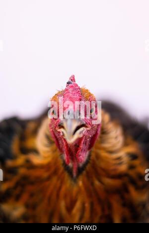 Retrato de un pollo con plumas marrón cerca