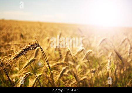Campo de trigo. Espigas de trigo de oro de cerca. La naturaleza hermosa puesta de sol paisaje. Paisaje rural bajo la luz del sol brillante. Antecedentes de la maduración oídos de prado campo de trigo. Concepto de cosecha abundante. Soft Focus.
