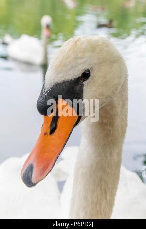 """Una familia de cisnes mudos """"Cygnus olor' en una piscina municipal, Inglaterra, Reino Unido."""