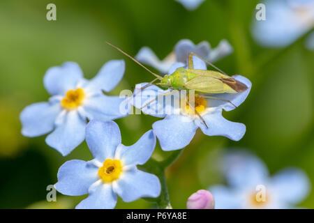 La foto de blue Forget-me-nots común con una cápside verde de pie sobre una flor en el centro. Tomadas en Poole, Inglaterra. Foto de stock