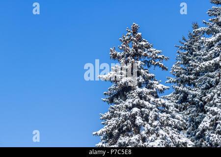 Abeto envuelto por la nieve en el día luminoso