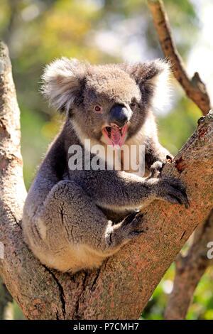 El Koala, en el árbol adulto jawning, Kangaroo Island, South Australia, Australia (Phascolarctos cinereus)