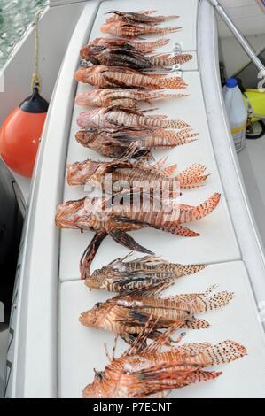 Recién capturado con una lanza en el agua salada, invasivo pez león en cubierta, el pez león son un gran problema para especies nativas de peces de arrecife, Marathon Key, Florida, EE.UU.