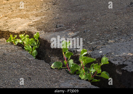 Las plantas jóvenes que crecen en los terrenos agrietados en piedra. En el semáforo. Nueva vida el crecimiento empresarial de ecología concepto financiero.