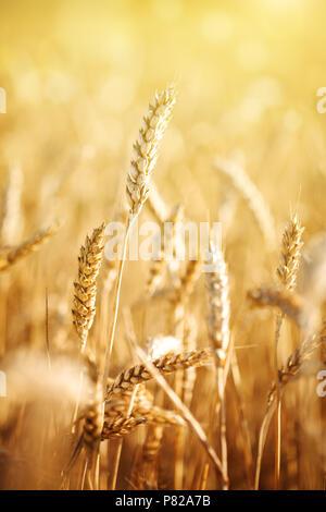 Campo de trigo. Paisaje rural bajo la luz del sol brillante. Un fondo de la maduración del trigo. Cosecha abundante.