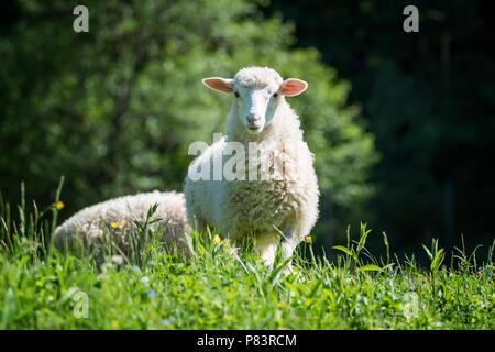 Cerrar jóvenes ovejas en una pradera en una granja