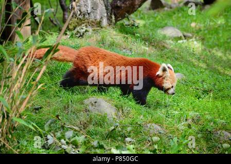 Panda rojo, Firefox o Panda menor (Ailurus fulgens)
