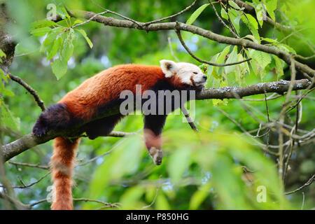 Panda rojo, Firefox o Panda menor (Ailurus fulgens) apoyado en un árbol