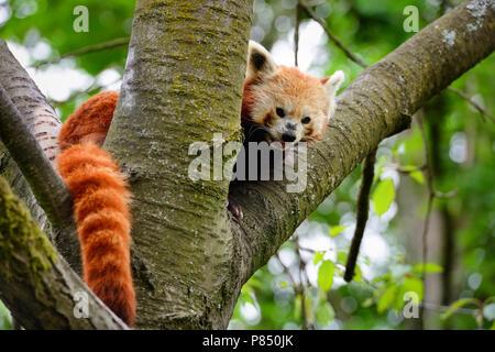 Panda rojo, Firefox o Panda menor (Ailurus fulgens) sentada en un árbol