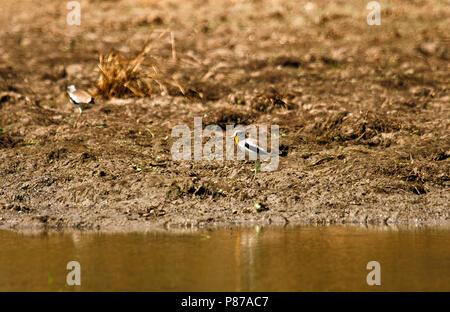 Senegal chorlito, Wattled Vanellus senegallus. Parque Nacional Mana Pools. Zimbabwe