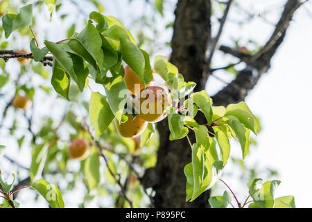 La rama de un árbol de albaricoque con frutas maduras sólido contra el cielo azul en verano.