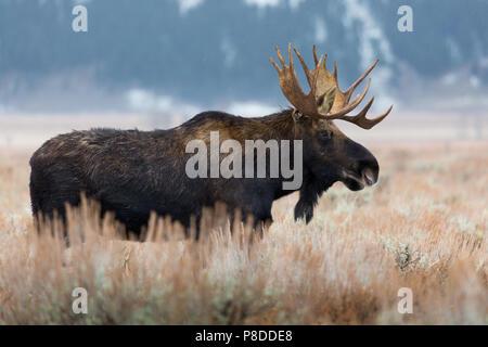 Un toro moose en pie en artemisa como el invierno empieza a establecer. Parque nacional Grand Teton, Wyoming