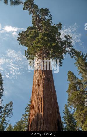 General Grant - un árbol sequoia (Sequoiadendron giganteum) - es el mayor sequoia en general Grant Grove sección del Parque Nacional Kings Canyon, CA