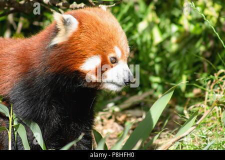 Cerrar la imagen de un panda rojo (Ailurus fulgens) con espacio de copia
