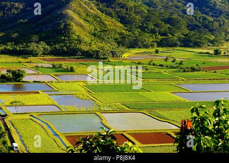 Campos de Taro en el hermoso Valle de Hanalei en la isla de Kauai, Hawaii