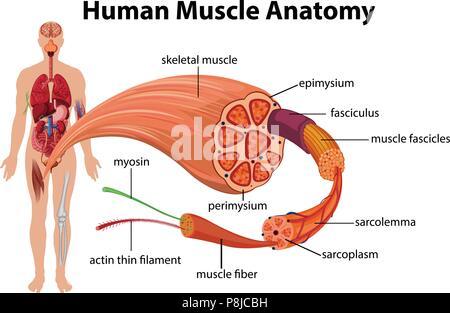 El músculo humano Anatomía ilustración de diagrama Ilustración del ...
