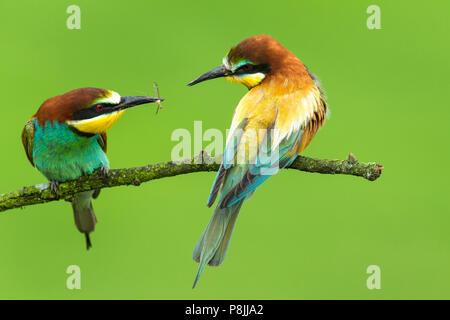 Pareja de abejarucos Europeos (Merops apiaster ) en la rama pasando un insecto