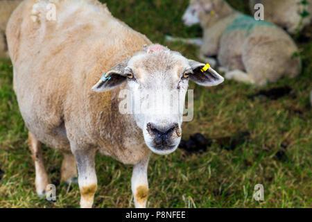 Gracioso retrato de una oveja mirando sheepish