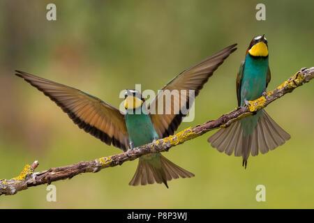 Pareja de abejarucos Europeos (Merops apiaster)