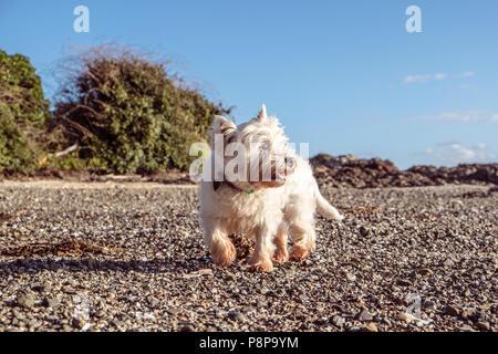 Perro senior saludable explorar playa de guijarros con conchas y guijarros - West Highland White Terrier westie en Nueva Zelanda, Nueva Zelanda. Perro es de 12 años. Foto de stock