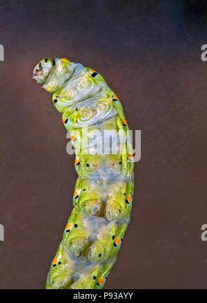 La parte inferior y los pies de la oruga o larva de una especie de anís, mariposas Papilio zelicaon, antes de pupa. Los cuernos son osmete amarillo